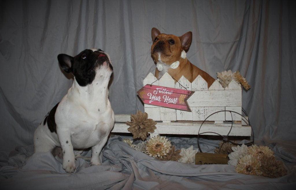 Breeding French Bull Dogs, Malibu and Wyatt